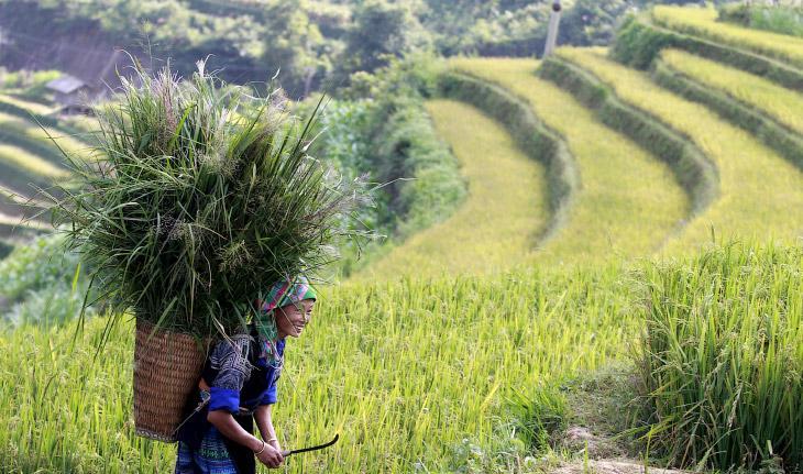 уборка риса в Китае